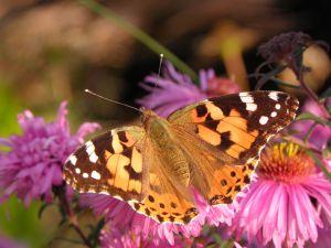 1227757_orange_butterfly_2[1]